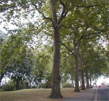 Battersea trees
